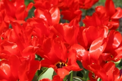 Red Tulips_4