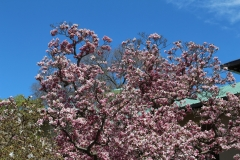Magnolia_Blue Sky_2