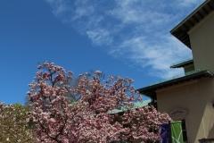 Magnolia_Blue Sky_1