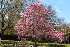 Magnolia Tree_3