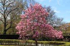 Magnolia Tree_2