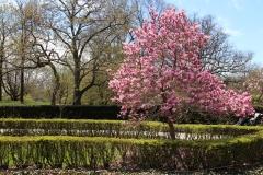 Magnolia Tree_1