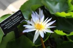 Lilies_3