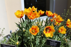 Yellow _Red_Tulips 4