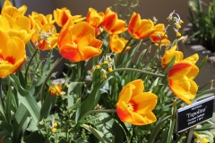 Yellow _Red_Tulips 3