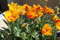 Yellow _Red_Tulips 2